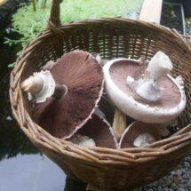 Comment cuisiner les champignons rose des pres